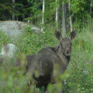Moose are a regular sight around the retreat