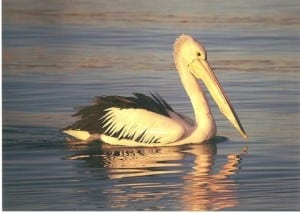 Pelican at The Entrance resting. Taken by Reginald J. Dunkley