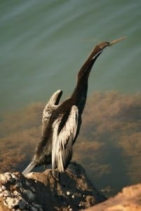 Profile of the Darter at Tuggerah Lakes. Taken by Reginald J. Dunkley.