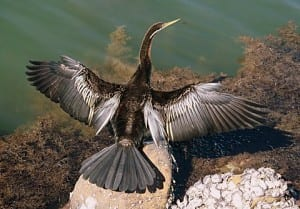 Darter drying his plumes at Tuggerah Laks. Taken by Reginald J. Dunkley