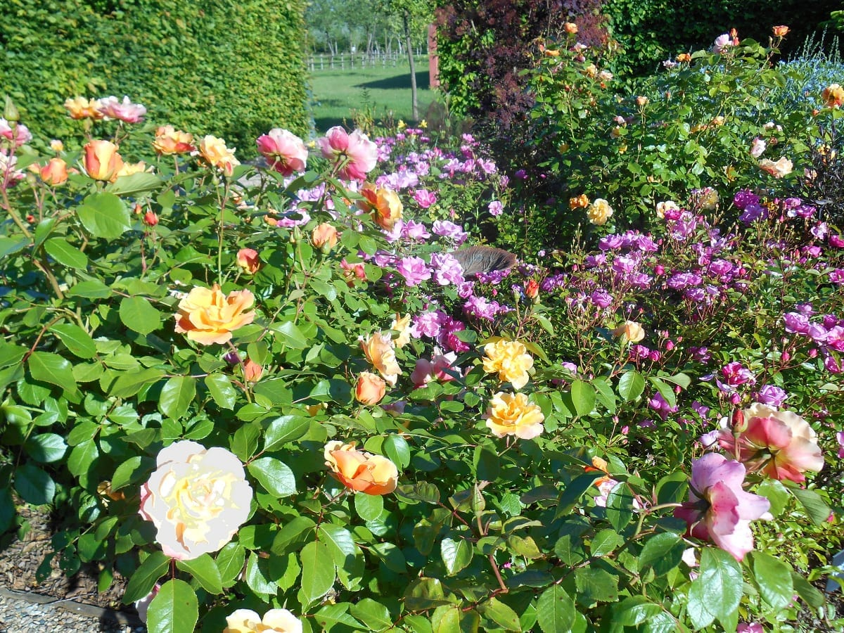 7a_Roses_were_her_favourite_flower