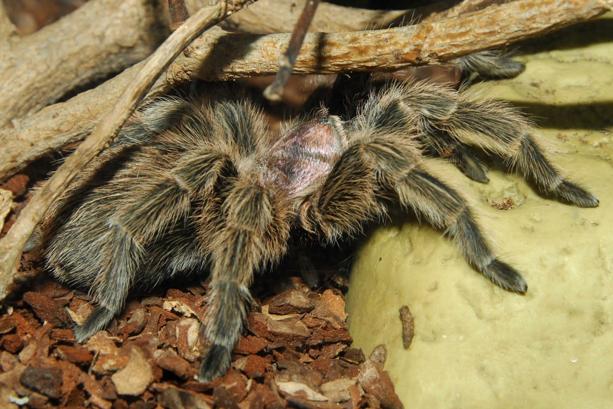 A tarantular at the sanctuary_TysallsPhotography