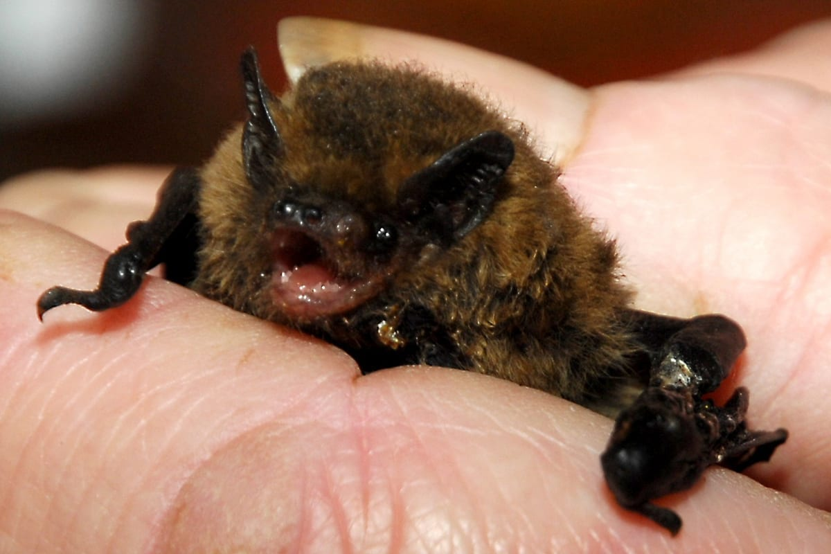 Pipistrelle Bat_Tysalls Photography