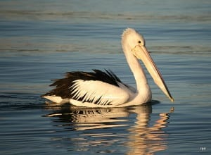 PELICAN JUST CRUISING