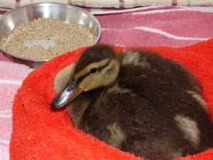 Air filled Duckling from Horam