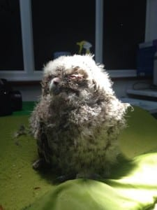Baby Tawny Owl in WRAS's Care