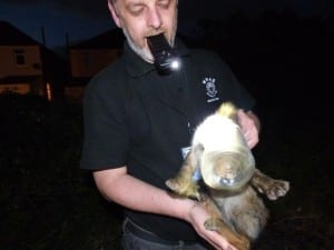 Fox with head stuck in plastic tub (7)m