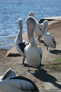 Tuggerah Lake pelicans bashful