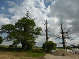3 trees with bullet holes