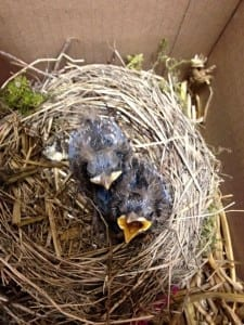 Young Blackbirds from Nutley