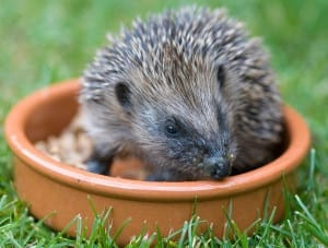 Help a hedgehog!Photo courtesy of Alex Sharp