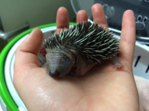 Baby Hedgehog 10th June 2015