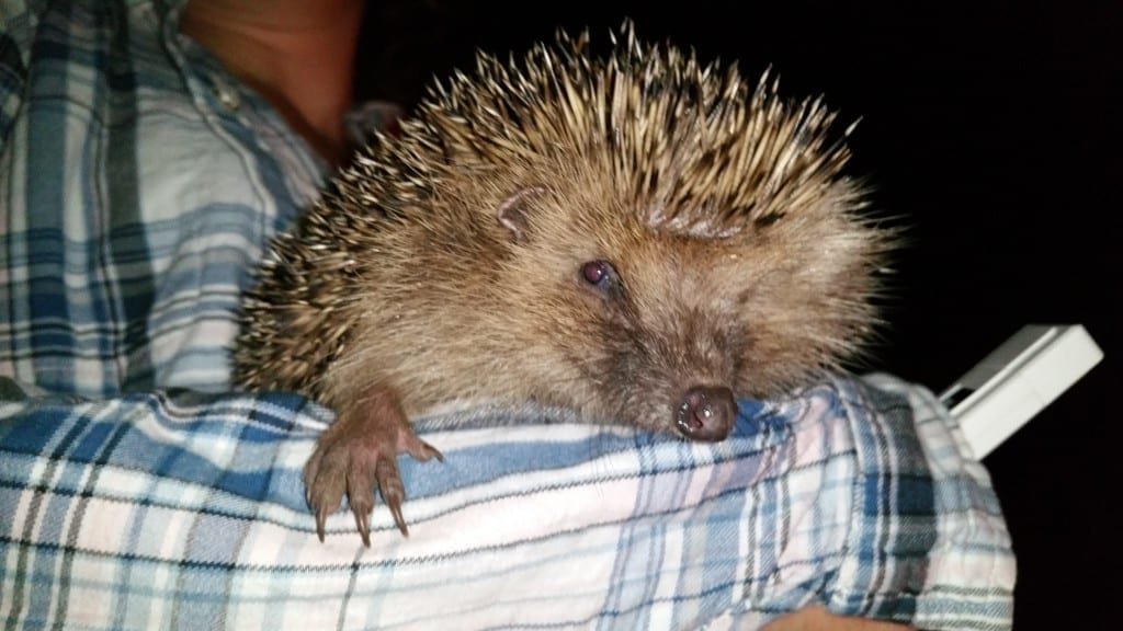 Hedgehog found in Ditchling