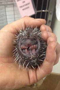 One of the baby hedgehogs born at WRAS
