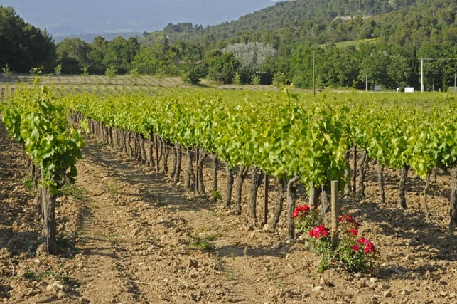 One of the numerous healthy French vineyards!