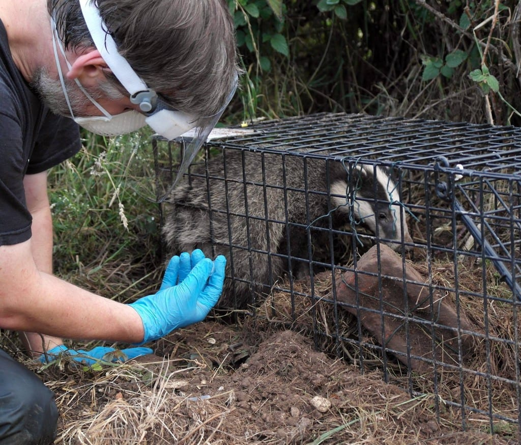 A Badger being Vaccinated in East Sussex