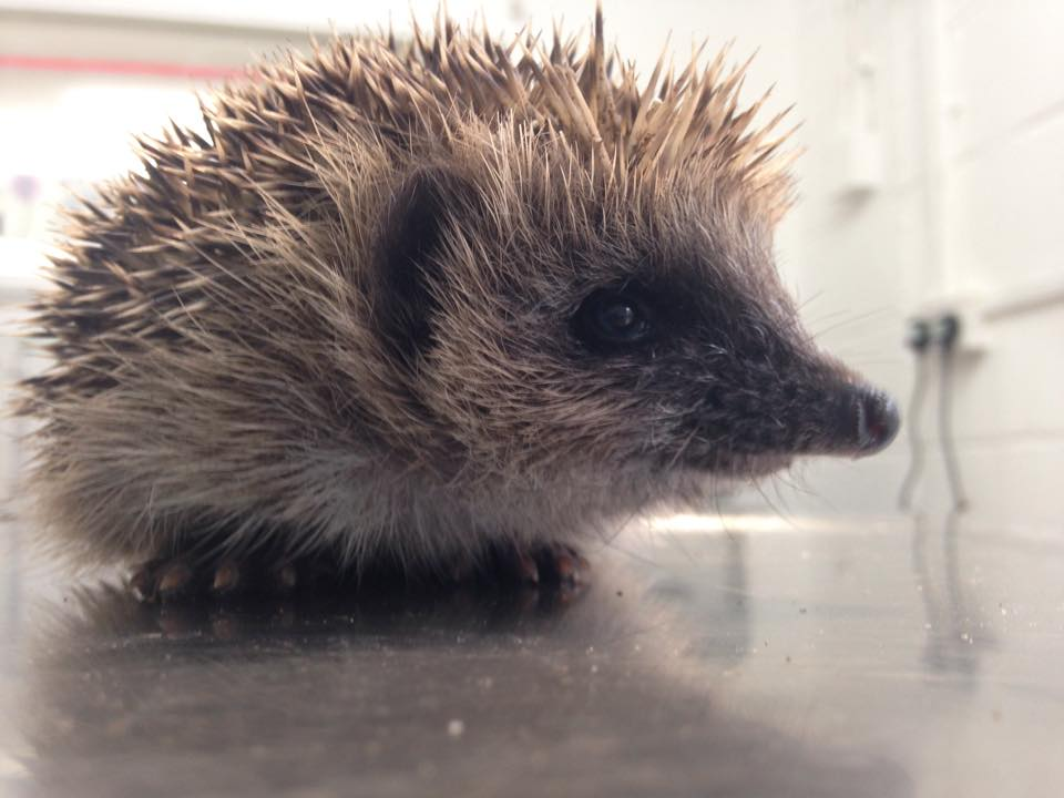 Hedgehog rescued in Eastbourne after being caught in netting