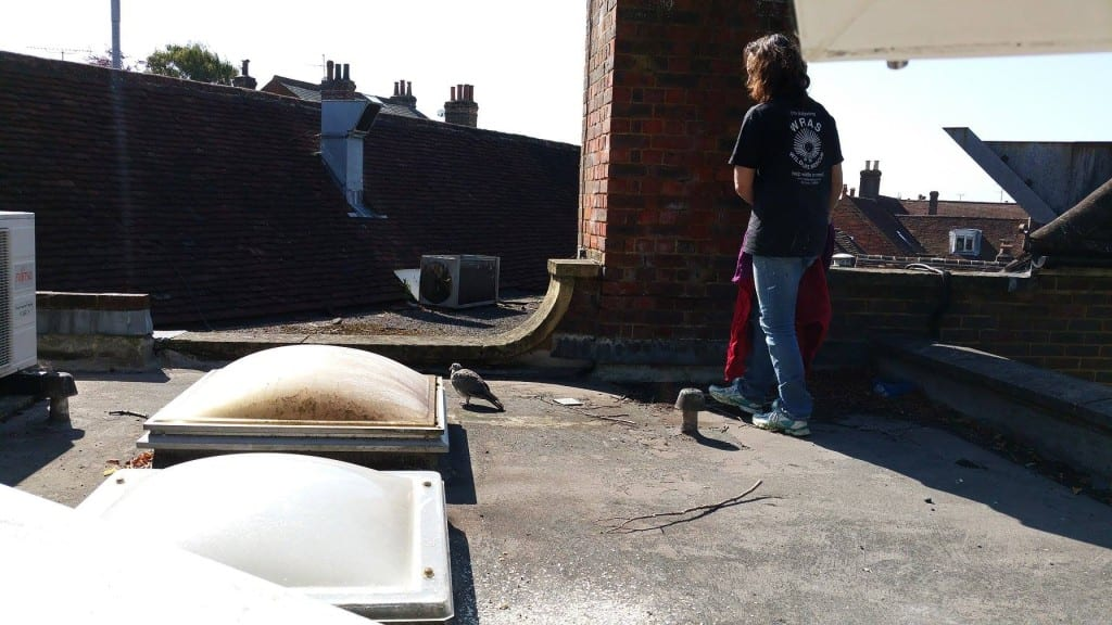 Kathy on the roof of IAR office in Uckfield catching a pigeon