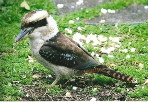 Kookaburra in the back garden takren by Reginald J. Dunkley