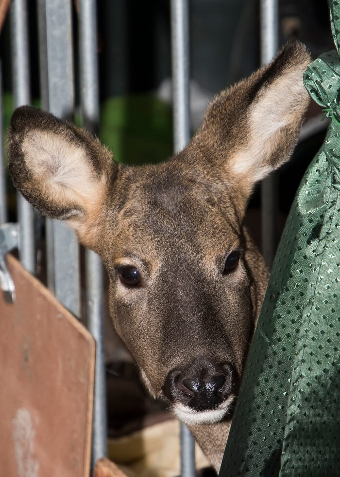 Warwickshire Wildlife Sanctuary, Bramble, rescued roe deer.
