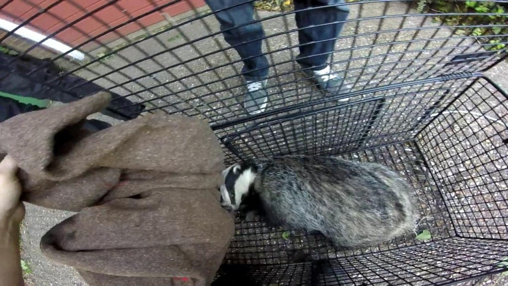 Badger from Hastings