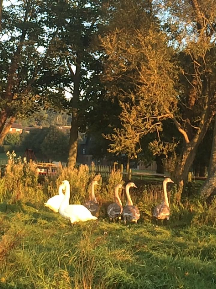 Lewes cygnet back with its parents