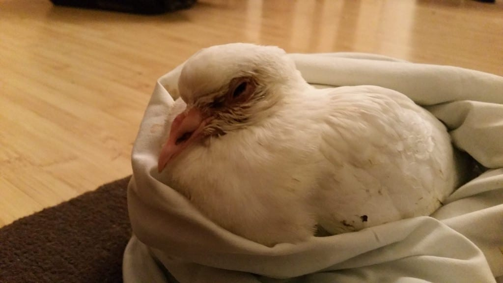 Poorly White Pigeon from Battle