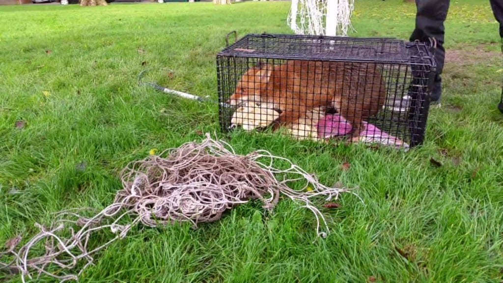 Fox entangled in Goal Netting at Roselands Eastbourne rescued by Chris Riddington (2)