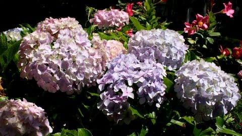 Hydrangea in the garden. Taken by Reginald J. Dunkley.