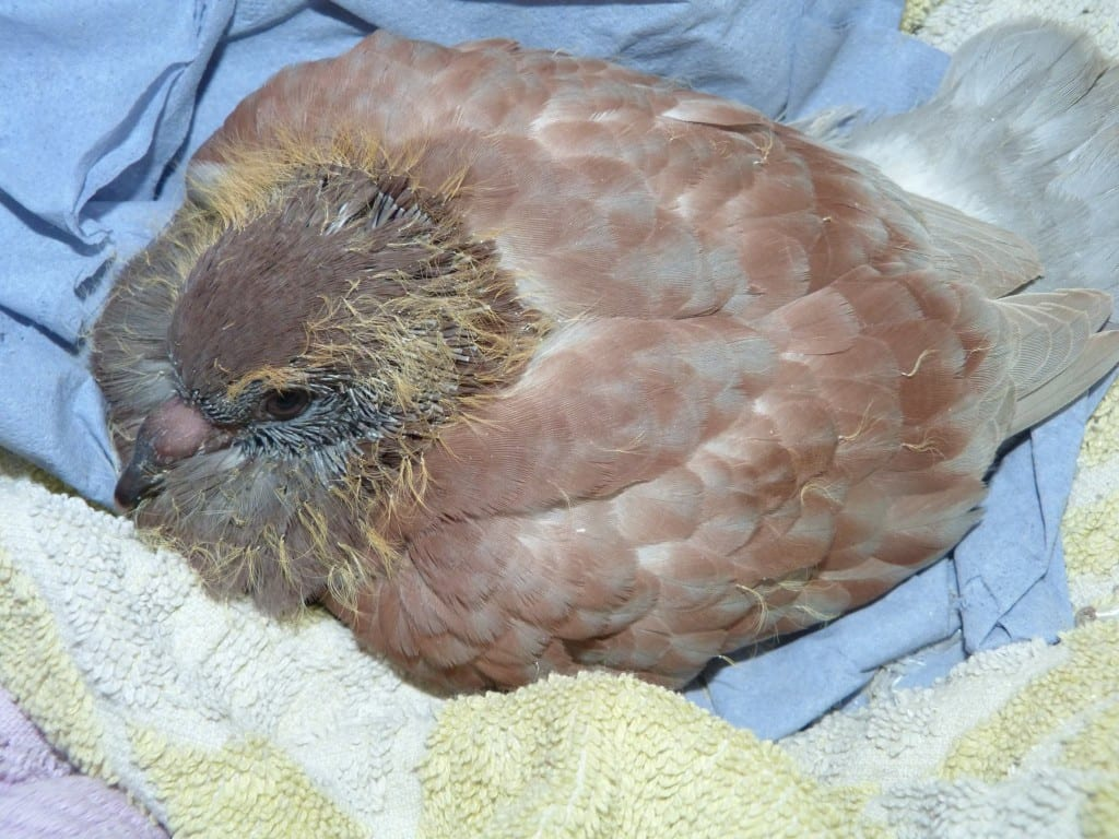 New Young Pigeon from Council Street Lightingh Team
