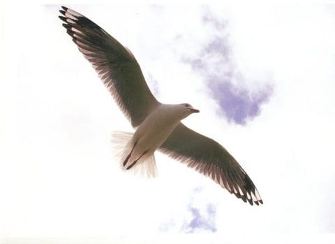 Soaring Seagull at Shelly Beach. Taken by Reginald J. Dunkley