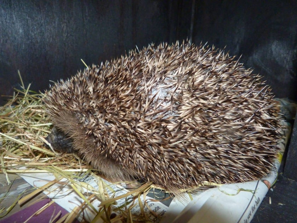 Hamlet the Hedgehog rescued in Lewes