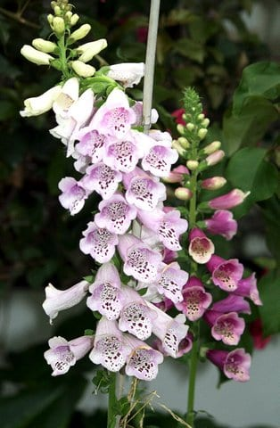 Foxglove in the garden  Taken by Reginald J. Dunkley