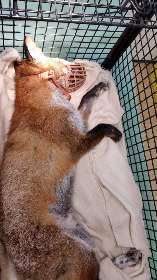 Injured fox from Seaford