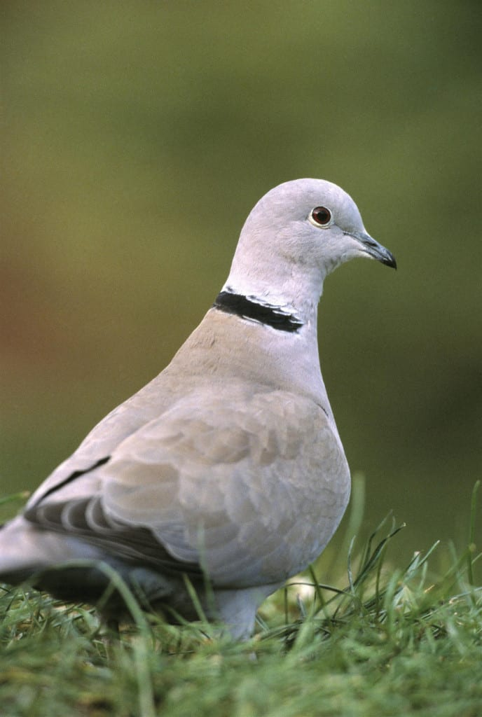 Collared Dove Photo_Andy Hay rspb-images