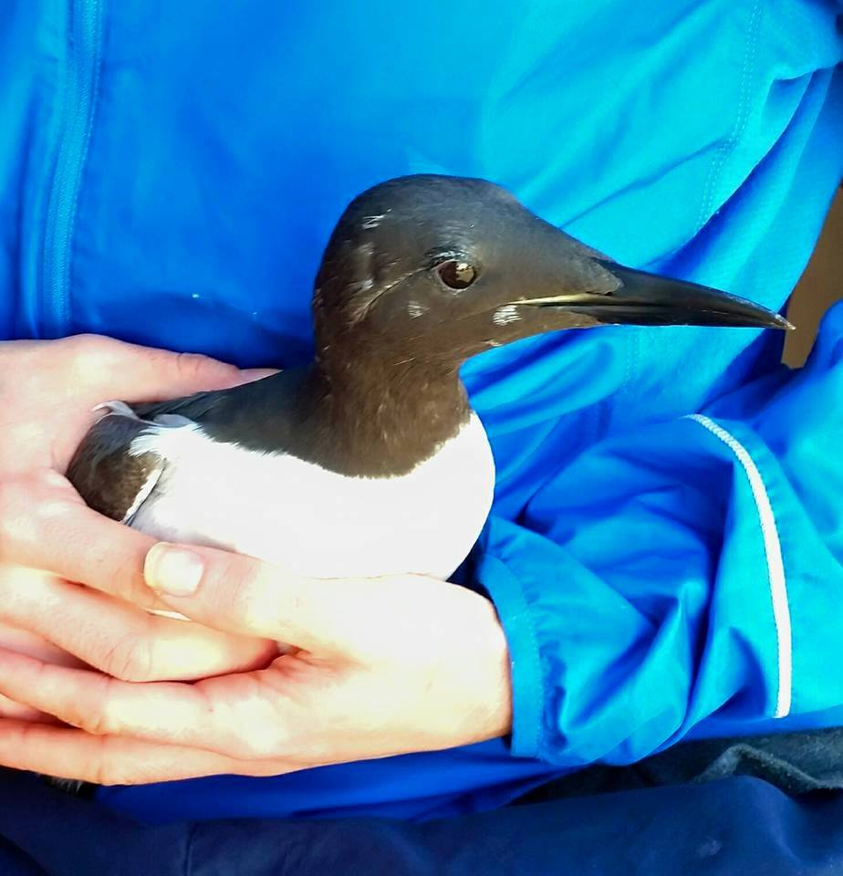 Guillemot from Birling Gap