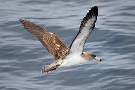 The Mediterranean Shearwater Cory.
