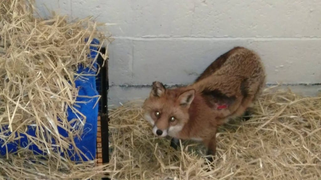 New Fox in Care