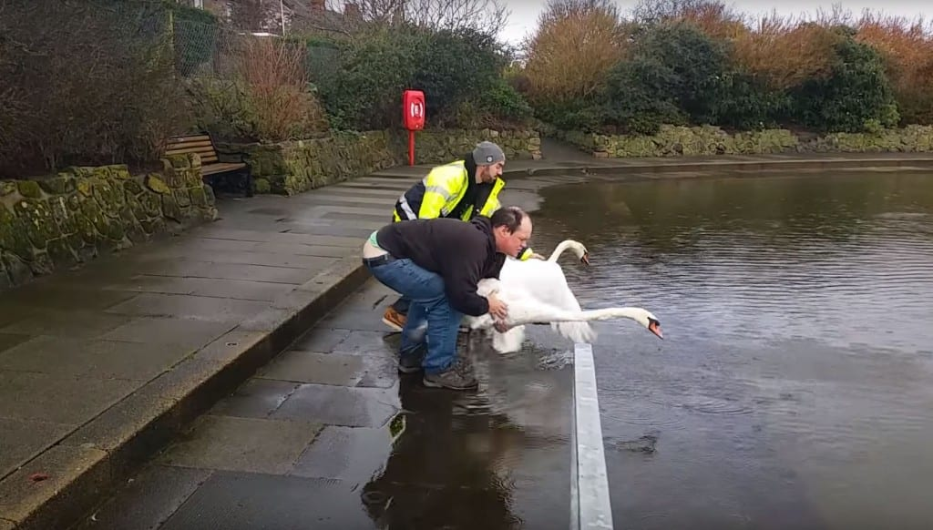 Swan release at Princes Park