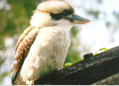 Kookaburra sitting on the fence Taken by Reginald J. Dunkley