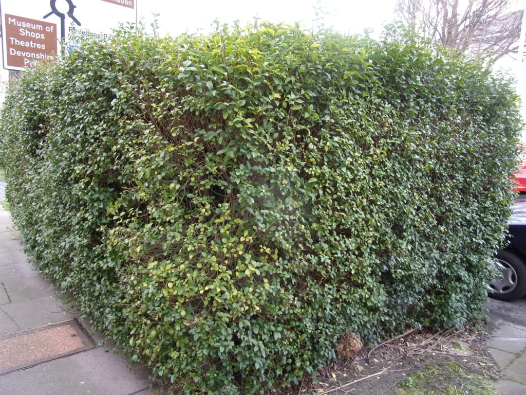 now it's just an anonymous privet hedge