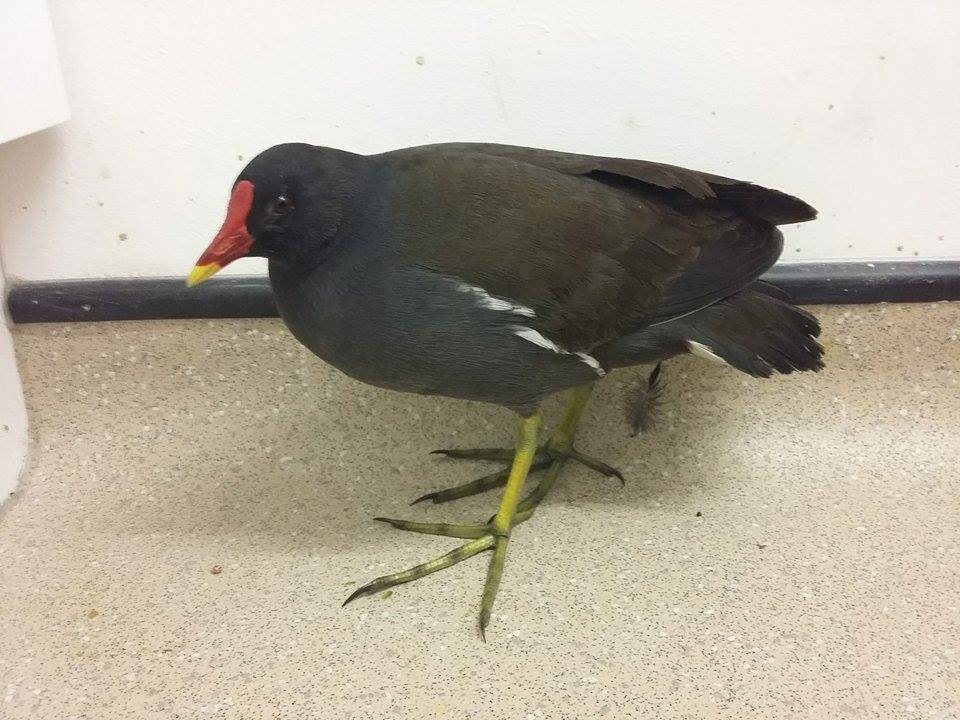 Moorhen from Whitesmith