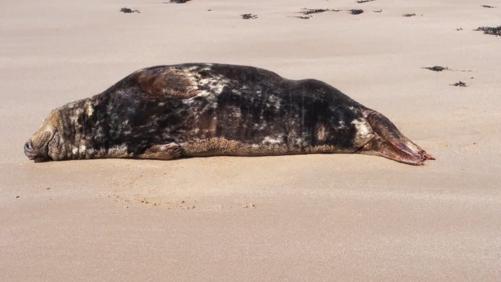 The Large Adult Seal when at Birling Gap (1)