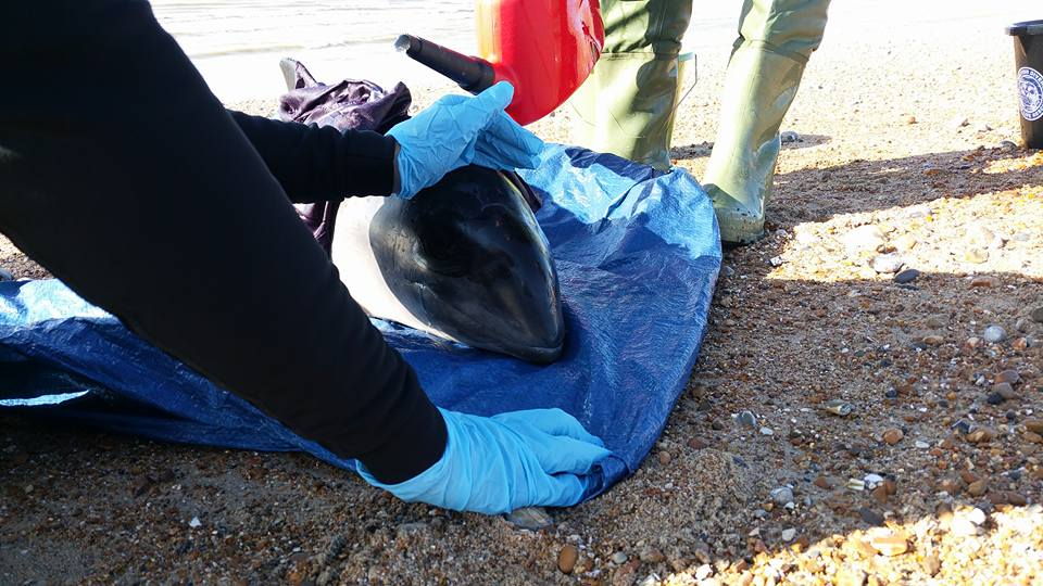 Porpoise Rescue At Normans Bay (2)