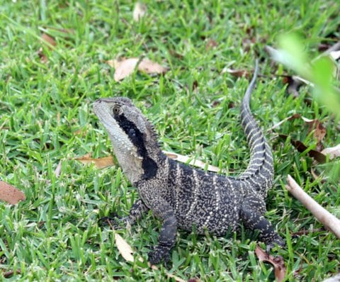 Water Dragon at Marylynne's riverside home. Taken by Reginald J. Dunkley