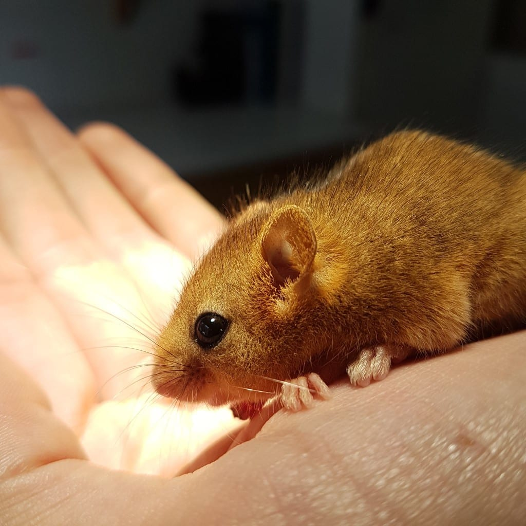 New Dormouse now in care