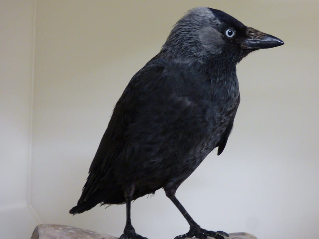 Jackdaw rescued in Seaford