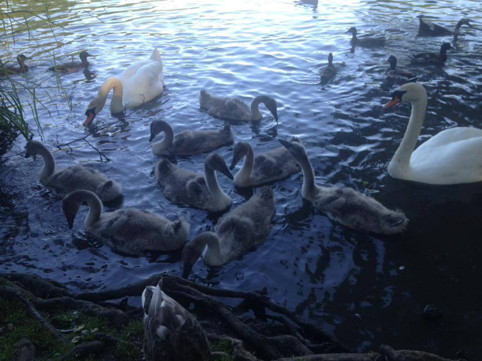 The Hampden Park Cygnets