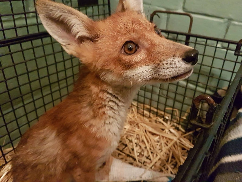 The fox cub rushed to Vets for surgery