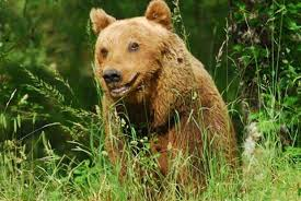 brown bear of abruzzo